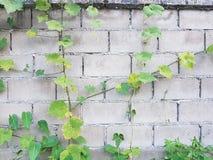 Luffa gurdy roślina na ściennym tle obrazy royalty free
