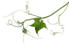 Luffa Loofah Leaf Stock Photos