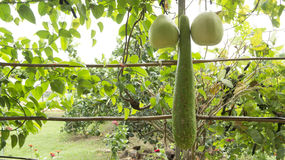 Luffa vegetable food raw plant green squash Stock Images
