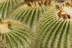 lufowego kaktusa echinocactus złoty grusonii obraz royalty free
