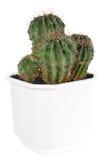 lufowego kaktusa odizolowywający rośliny cierniowaty biel Fotografia Stock
