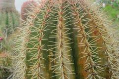 Lufowy kaktus Obrazy Royalty Free