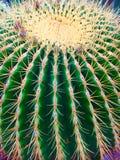Lufowy kaktus Zdjęcia Royalty Free