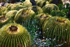 Lufowy kaktus Fotografia Royalty Free