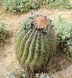 Lufowy kaktus w pustyni Obrazy Stock