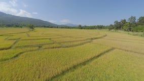 Luftüberführung des Reispaddys stock video footage
