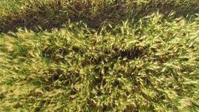 Luft geschossen von einem Weizenfeld stock footage