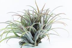 Luft rotar växten, Tillandsia Capitata, på vit bakgrund Royaltyfria Foton