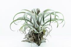 Luft rotar växten, Tillandsia Chiapensis, på vit bakgrund Fotografering för Bildbyråer
