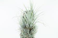 Luft rotar växten, Tillandsia Karwinskiana, på vit bakgrund Arkivbilder