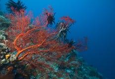 luftar det gorgonian indonesia havet Royaltyfri Foto