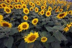 Luftaufnahme des Sonnenblumefeldes lizenzfreies stockfoto