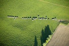 Luftaufnahme: Kühe in der Warteschlange, die eine Wiese kreuzt Lizenzfreies Stockbild