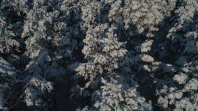 Luftbildfotografie der Winterwalddraufsicht der schneebedeckten Kiefern Hohe Bäume im Schnee stock video
