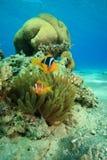 Luftblasen-Anemone und Gehirn-Koralle lizenzfreies stockfoto