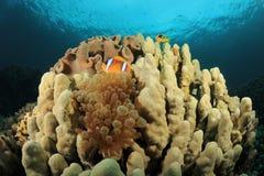 Luftblasen-Anemone und Korallenriff stockfoto