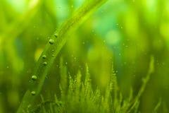 Luftblasen und Algen stockfotografie