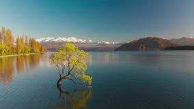 Luftbrummenansicht des einsamen Baums von See Wanaka, Neuseeland stock video footage