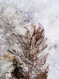 Luftbubblor och Ceratophyllumdemersum i is Royaltyfri Foto