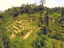 Luftflug über asiatischem Reisfeld, Reis Terrassen in Bali, Indonesien stock footage