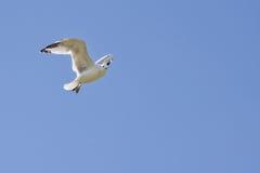 luftflygseagull upp white arkivbilder