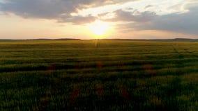 Luftgesamtlänge des brummens 4k Fliege über Weizenfeld bei Sonnenuntergang Transportwagenschuß stock footage