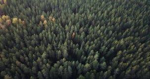 Luftgesamtlänge des grüne Kiefern-und gelbe Birken-Waldes - schwermütiges Video stock video