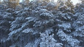 Luftgesamtlänge des Kiefernwaldes im Winter stock footage