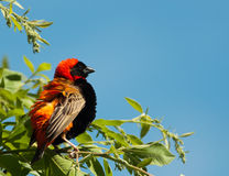 Luftgestoßener oben roter Bishopvogel Stockbild