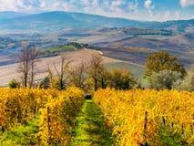 Luftherbstlandschaft - goldene Reihen des Weinbergs und schön stockfotos