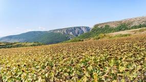 Luftschuß von den Sonnenblumenfeldern bereit zur Ernte Lizenzfreie Stockbilder