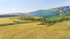 Luftschuß von den Sonnenblumenfeldern bereit zur Ernte Lizenzfreie Stockfotografie