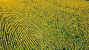Luftschusslandschaft mit Sonnenblume stock video footage