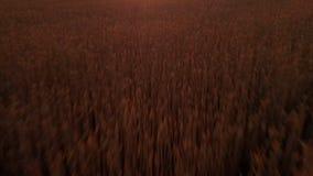 Luftvideo Fliegen nah über beträchtliches gelbes Weizenfeld in idyllischer Kaukasus-Natur bei goldenem hellem Sonnenuntergang Eno stock video footage