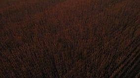Luftvideo Fliegen nah über beträchtliches gelbes Weizenfeld in idyllischer Kaukasus-Natur bei goldenem hellem Sonnenuntergang Eno stock footage