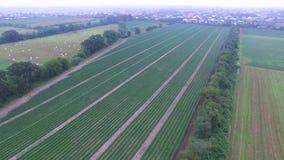 Luftvideo von Gurkenanlagen stock video