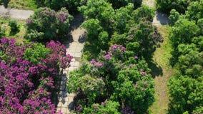 Luftvideoaufnahmen Kiew Ukraine Blühende Flieder des Frühlinges in nationalem botanischem Garten Hryshko Ansicht zu Vydubychi stock video