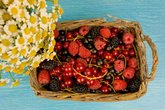 Lug Full of Fresh Raspberries, Mulberries and Red Currants.  Royalty Free Stock Photography