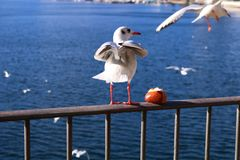 Lugano seagull stock photography