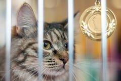 Lugar de la medalla de oro del ganador del campeón del animal doméstico del gato primer fotos de archivo libres de regalías