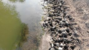 Lugar de riego, rastros de hoofs de vacas y caballos en el valle del río Ganado de pasto de la zona rural Opinión del abejón, mos almacen de metraje de vídeo