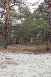 Lugar estranho pitoresco coberto com o líquene na floresta do pinho de Volyn Sobras das trincheiras da Primeira Guerra Mundial ho Imagem de Stock Royalty Free
