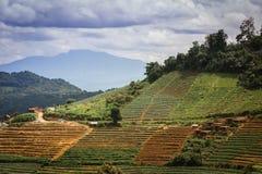 Lugar hermoso con las pequeñas terrazas de la col de la colina que cultivan con cl Imágenes de archivo libres de regalías