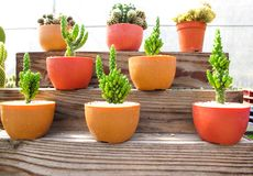 Lugar hermoso del cactus en los estantes de madera foto de archivo