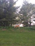 Lugar incomum dos cervos imagens de stock royalty free