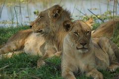 Lugar relajante para los leones Foto de archivo libre de regalías