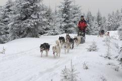 Luge tirée par des chiens de chiens de traîneau sibériens sur la traînée Images libres de droits