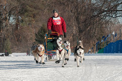 2014 luge tirée par des chiens de Subaru Loppet - Don Deckert Photo libre de droits