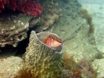Lugen Halfbanded Seaperch Stockbild