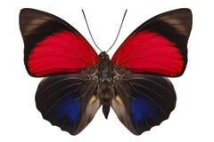 Lugens di claudina di Agrias di specie della farfalla immagine stock libera da diritti